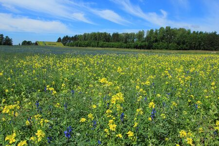 Rural landscape with lupine and rape crops