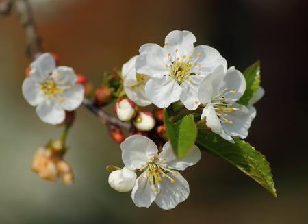 blooming pear tree spring flower