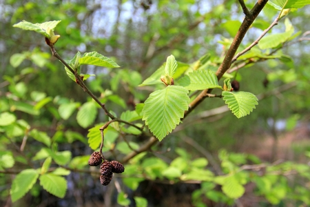 European Alder, female inflorescences of the Black Alder - Alnus glutinosa Stock Photo