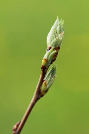 New buds on branch in spring season, tree twigs on natural green background