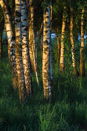 Birch trees in the dawn light. Rural landscape in Poland