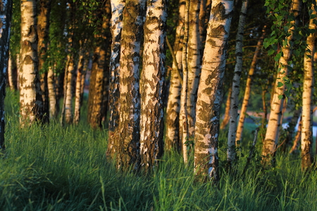 Birch forest. Betula trees in high grass