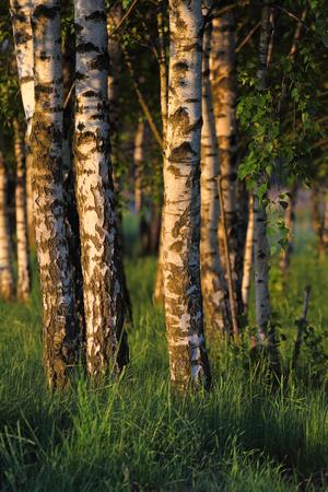 Birch trees in the dawn. Rural landscape in Poland
