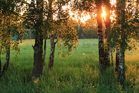 Birch trees. Meadow with high grass in summer. Stock Photo