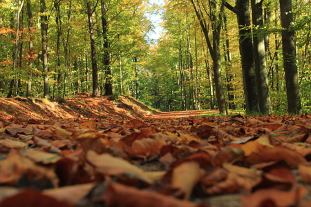 Autumn leafs. Forest in autumn. Poland Stock Photo