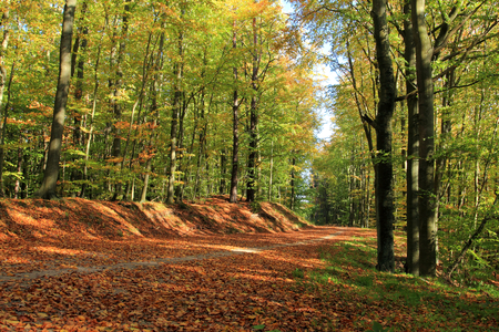 Forest in autumn. Silent forest with gravel road. Poland