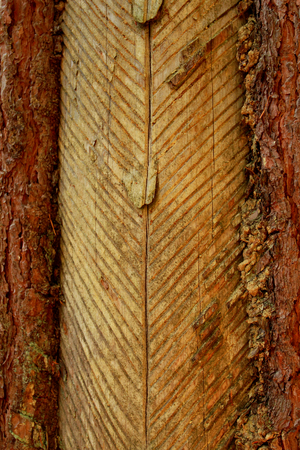 An old method of softwoods in central europe. Cut pine bark and a cup to collect resin. Season of the autumn.