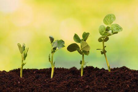 Pea seeds growing in soil