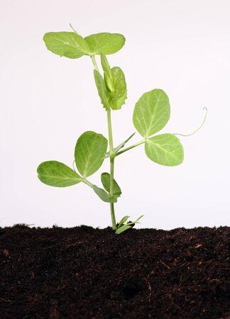 Pea plant growing in soil