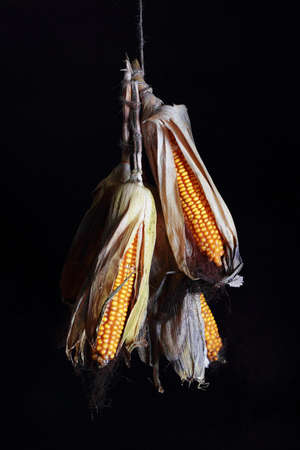 Drying corn cobs are hanging on a string against a black background