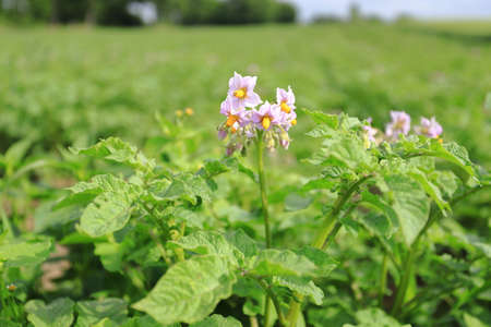Flowering potato. Close up organic vegetable flowers blossom growth in garden. Growing and cultivating potatoes.