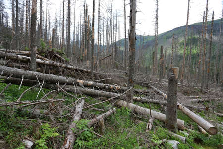 Dead spruce trees are infected by the European spruce bark beetle in the Tatra National Park