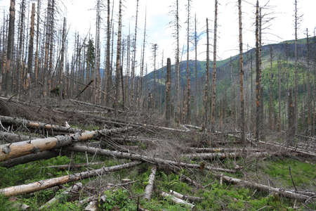 Dead spruce trees infected by the European spruce bark beetle in the Tatra National Park