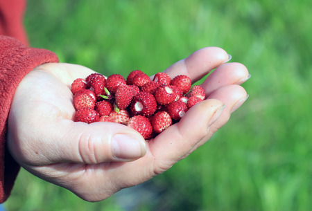 Berries of wild strawberry in a female hand