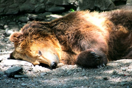 hibernate: Sleeping brown bear Stock Photo