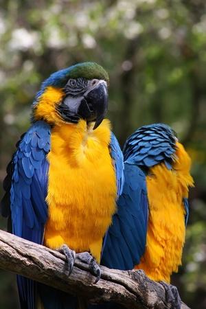 ararauna: Blue and Yellow Macaw (Ara ararauna) Stock Photo