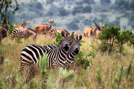 rwanda: Zebras in Akagera National park in Rwanda