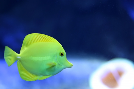 Yellow Tang   Zebrasoma flavescens  photo