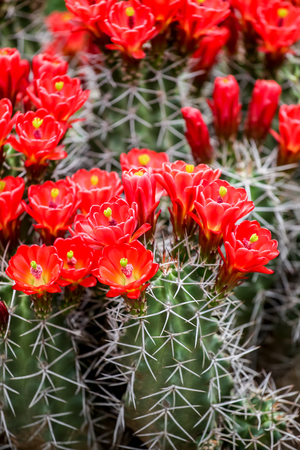 cactus flower: Claret-cup cactus flowers Stock Photo