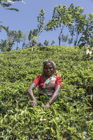NUWARA, SRI LANKA - JANUARY 26, 2014: Unidentified woman working on the tea plantation in Nuwara, Sri Lanka. Sri Lanka is the worlds fourth largest producer of tea.