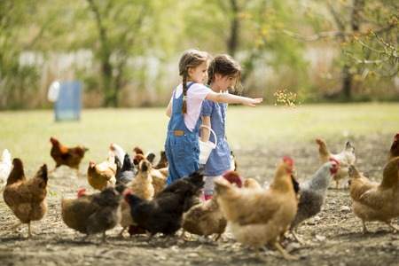 poultry farm: Two little girl feeding chickens