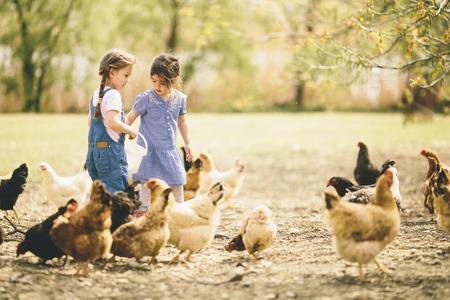 chicken: Dos ni�a alimentaci�n de pollos Foto de archivo