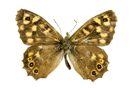 speckled wood: Speckled Wood (Pararge aegeria) butterfly Stock Photo