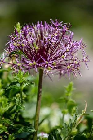 persia: Star of Persia (Allium christophii)