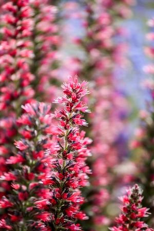 echium: Red Feathers (Echium amoenum)