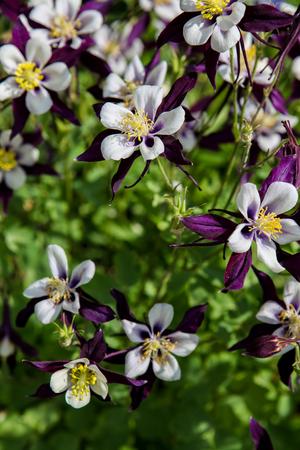 aquilegia: Aquilegia flowers Stock Photo