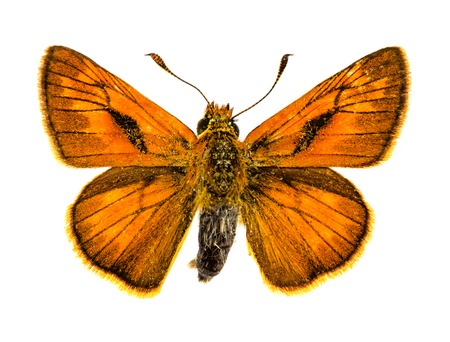 ochlodes: Large Skipper (Ochlodes sylvanus) butterfly Stock Photo