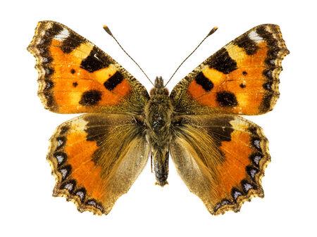 tortoiseshell: Small Tortoiseshell Butterfly (Aglais urticae)