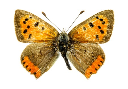 lycaena: Common Copper (Lycaena phlaeas) butterfly