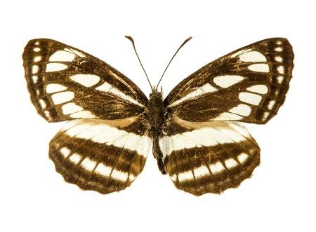 sailer: Pallas Sailer (Neptis sappho) butterfly