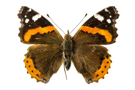 vanessa: Red Admiral Butterfly (Vanessa atalanta) Stock Photo