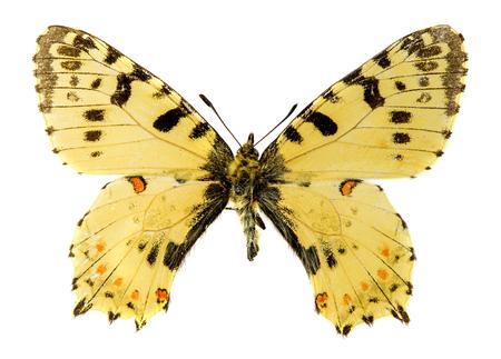 festoon: Eastern Festoon (Allancastria cerisyi) butterfly Stock Photo