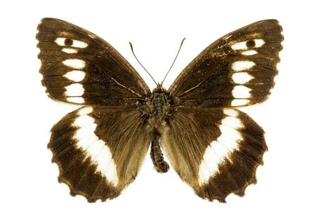 grayling: Rock grayling (Hipparchia hermione) butterfly Stock Photo