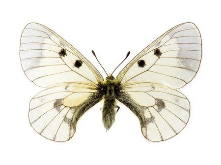 흐리게 Apollo (Parnassius mnemosyne) 나비