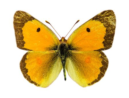 clouded: Common Clouded Yellow (Colias croceus) butterfly