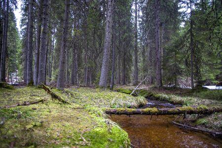 forest stream: Forest stream