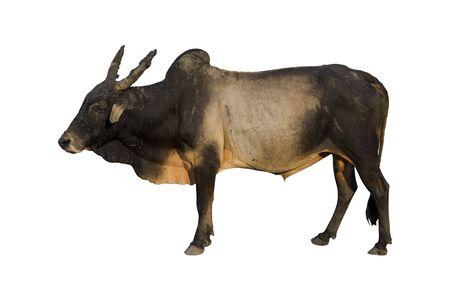 haryana: Haryana cow isolated on white Stock Photo