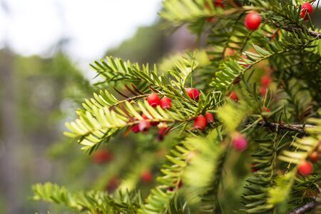 conifers: Branches of conifers