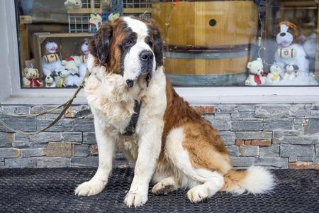 saint bernard: Saint Bernard dog Stock Photo