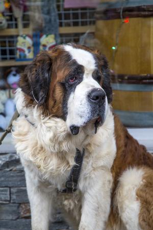 bernard: Saint Bernard dog Stock Photo