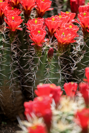 claret: Claret-cup cactus flowers Stock Photo