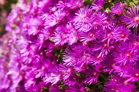 hardy: Hardy ice plant (Delosperma cooperi) Stock Photo