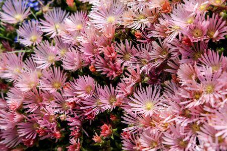 ice plant: Hardy ice plant (Delosperma cooperi) Stock Photo