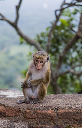 toque: Closeup view of the toque macaque Stock Photo