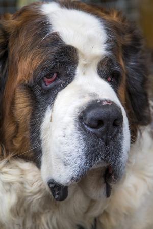 and saint: Saint Bernard dog Stock Photo