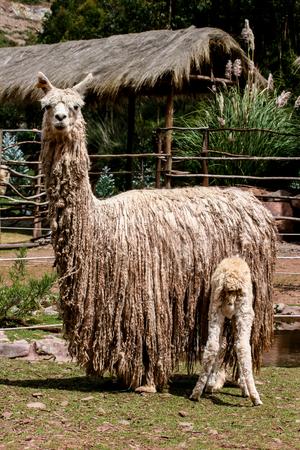Suri alpaca 版權商用圖片